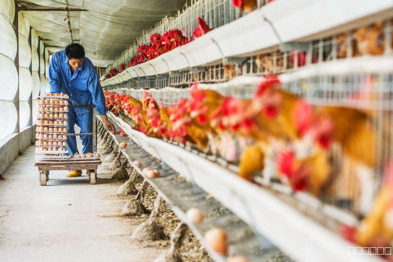 养鸡场投入及效益分析