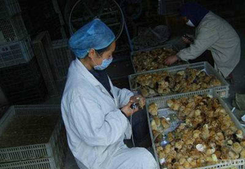 奥克泰士在种鸡场种蛋孵化龙8国际最新官网中的应用