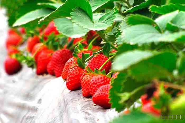 草莓白粉病防治措施方案!