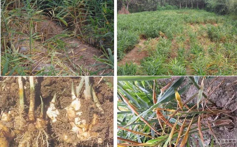 农业常见微生物病害——进口杀菌剂原料